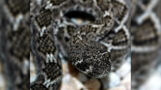 rattlesnake pic.jpg