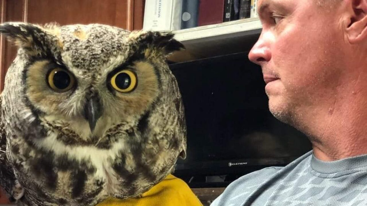 Great horned owl rescued in Provo