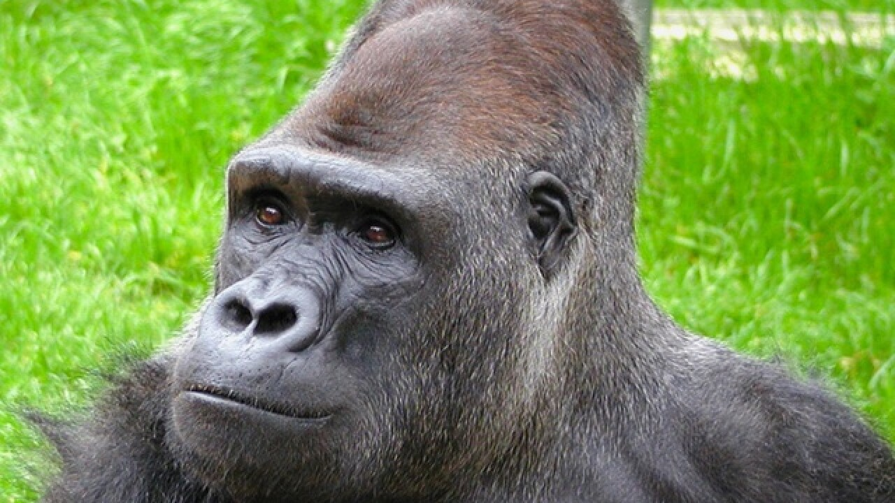 Ndume, Cincinnati Zoo-born gorilla who befriended Koko, will return home soon