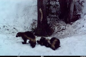 Wolverines in mount rainier