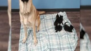 Dog found keeping stray kittens warm along road