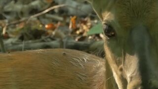 A Wilder View: Deer and hunter's orange