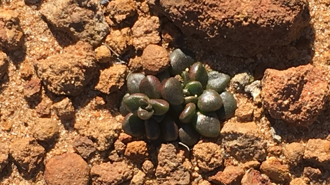 Liveforever plant