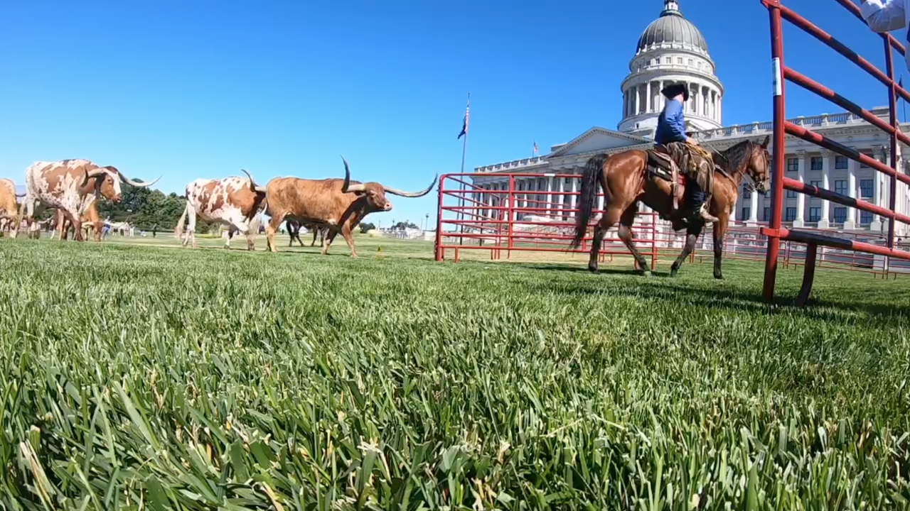 Cattle at the Capitol: saddling up for Days of'47