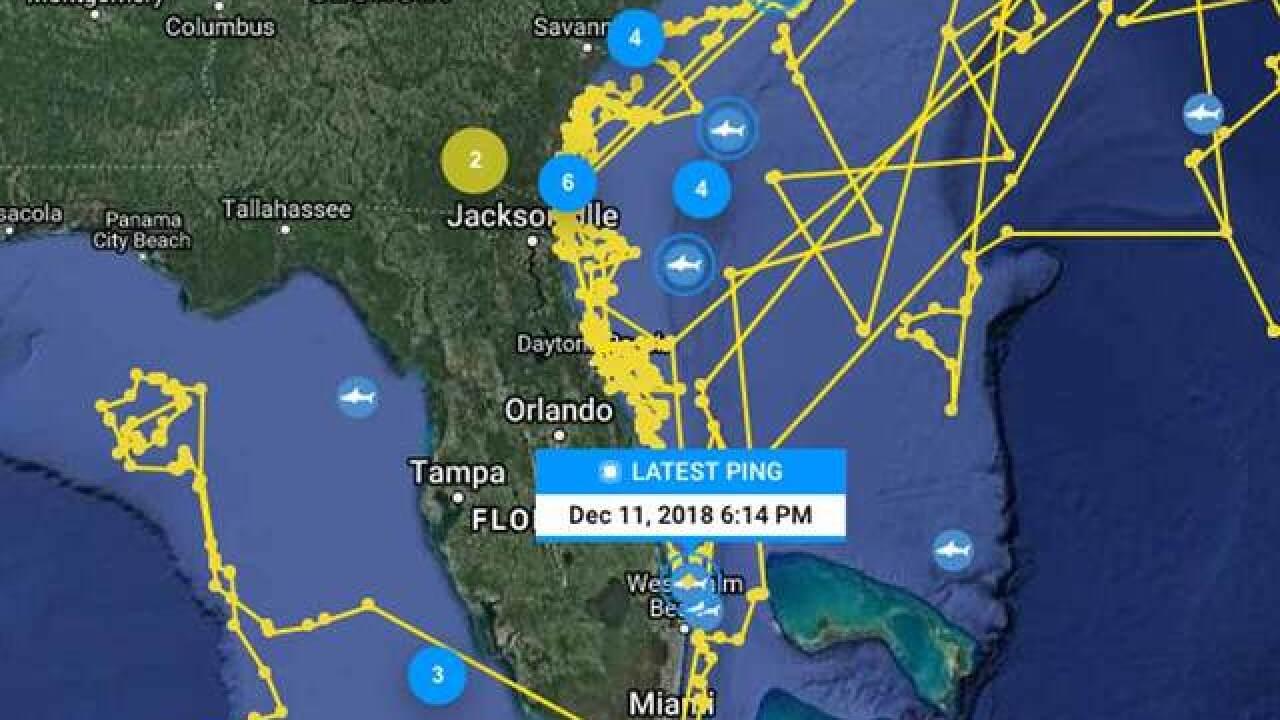 Katharine the great white shark returns to South Florida