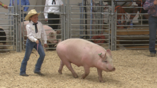 4-H students show off and sell animals at annual Helena livestock auction