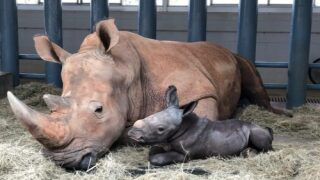 Disney's Animal Kingdom Just Welcomed An Endangered Baby White Rhino