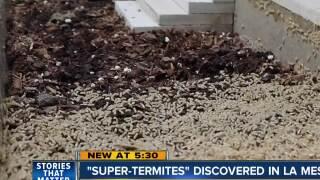 'Super termites' discovered in La Mesa