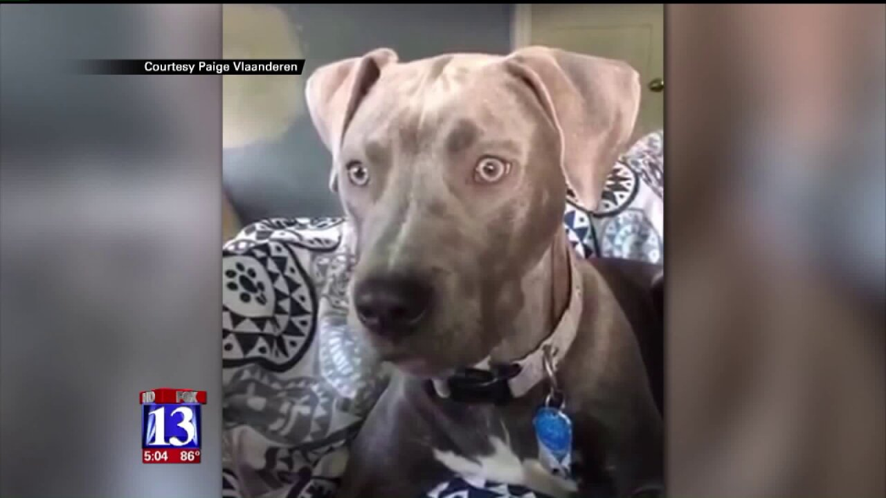 Pit bull stolen from Holladay home found safe in Tooele