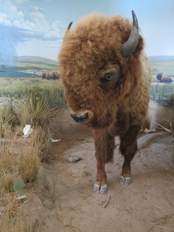 Bison exhibit at Lewis and Clark Visitors Center..JPG