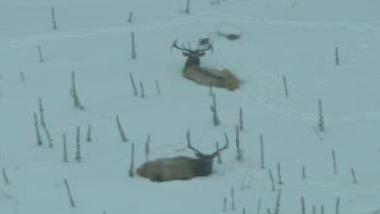 Elk population estimate doubles in Michigan