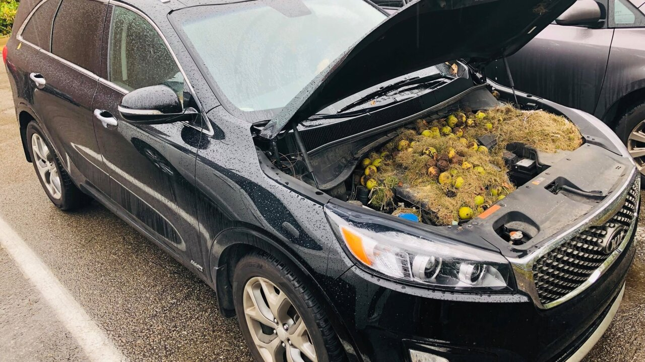 Squirrels hide more than 200 walnuts under hood of couple's SUV