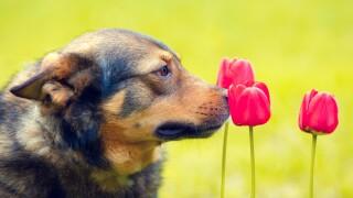 Dog smelling flowers, tulips