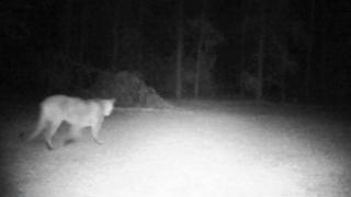 cougar-1-jpg_original.png