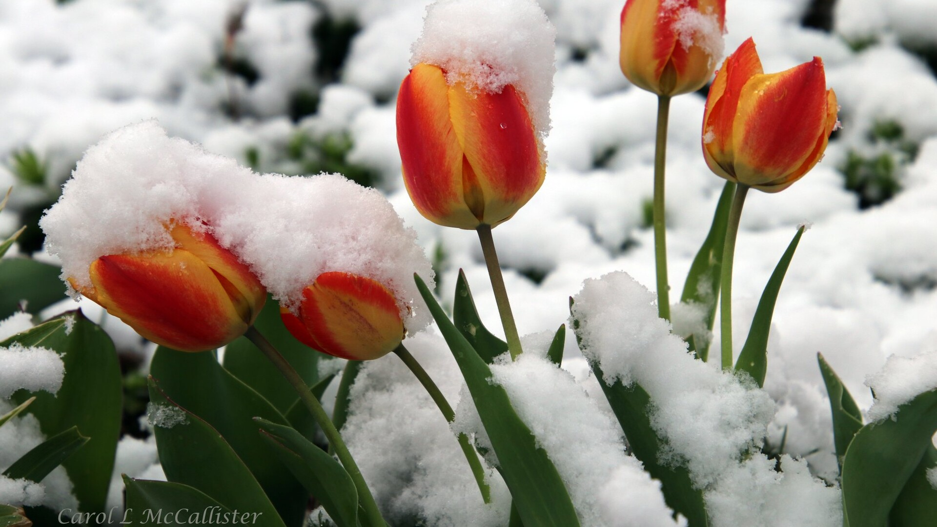 Snow Flowers Carol McCallister.jpg