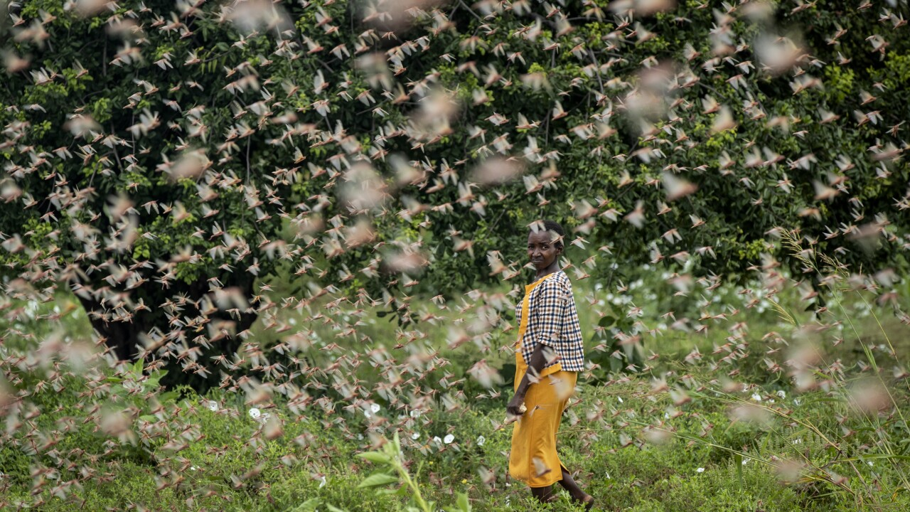 'Even cows are wondering what is happening': Locust swarms in Africa are worst in decades