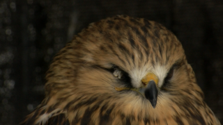 Missing hawk returns home to Kalispell owner