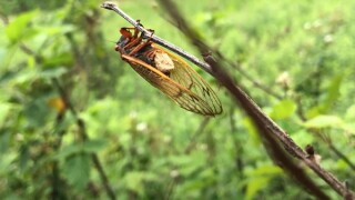 Psychedelic fungus causes 'zombie cicadas' to infect others, researchers say