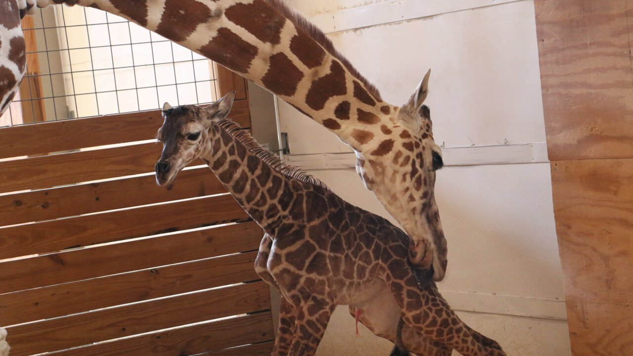 April the giraffe welcomes much-anticipated malecalf