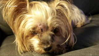 'Miracle Dog' | 7 lb. Yorkshire Terrier survives rattlesnake bite in front yard in Hernando County