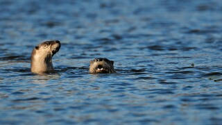 River Otters Trapping
