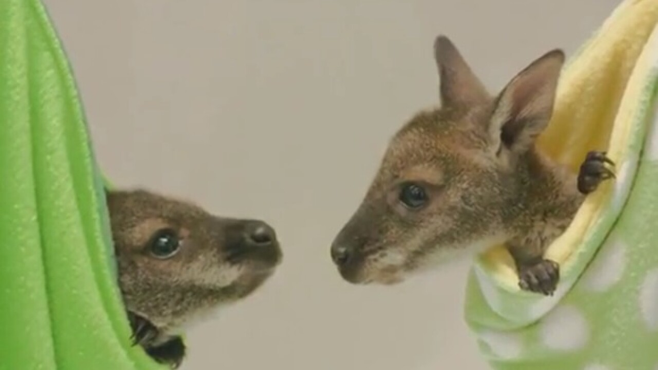 Wallaby joeys move into their new habitat at the San Diego Zoo Safari Park