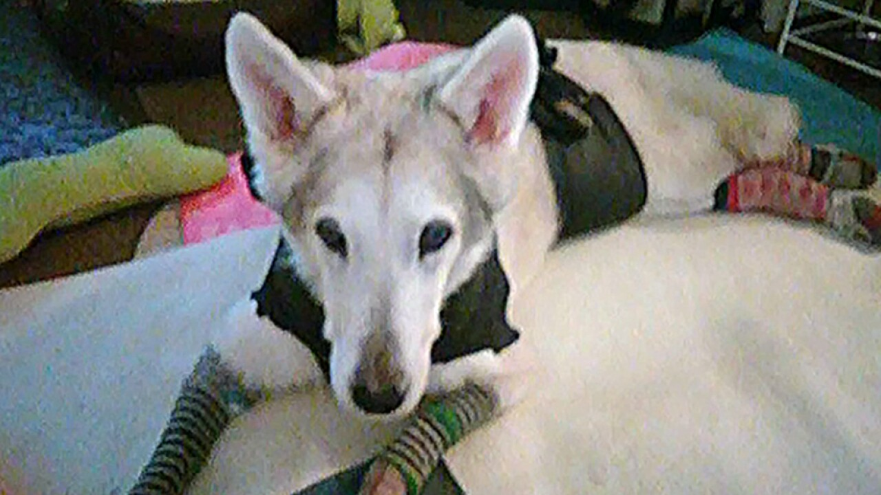 Zorra, a 13-year-old female Husky-Shepherd mix, went missing on Oct. 3 after her owner's car was stolen outside a Dollar Tree.