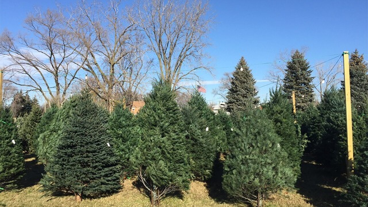Christmas Forest.Study Millennials Are Saving The Christmas Tree Industry