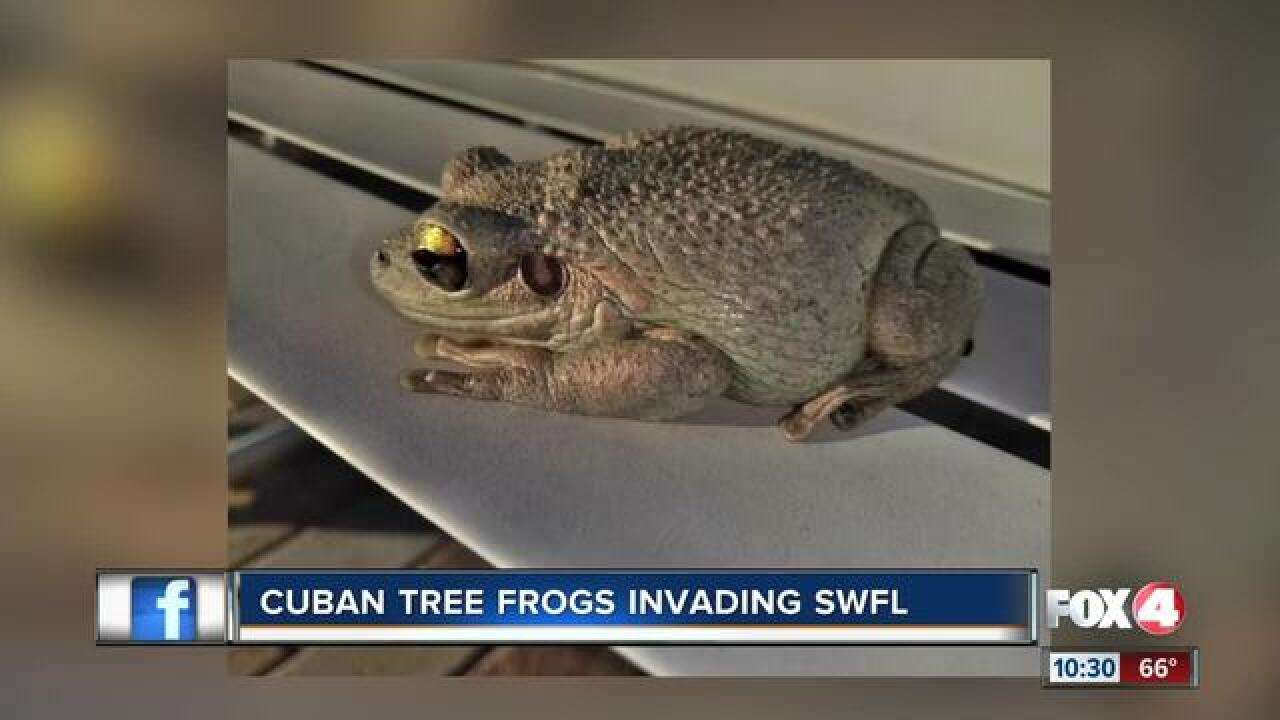 Invasive Cuban tree frog spotted in Southwest Florida