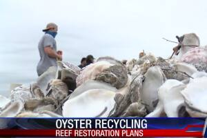 Reef restoration project takes place using recycled oysters