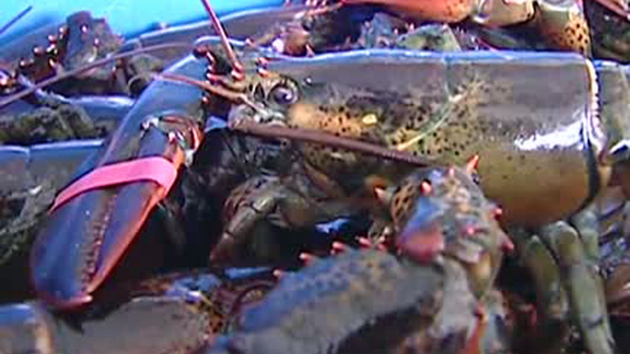 Lobsters are being sedated with marijuana smoke before being cooked