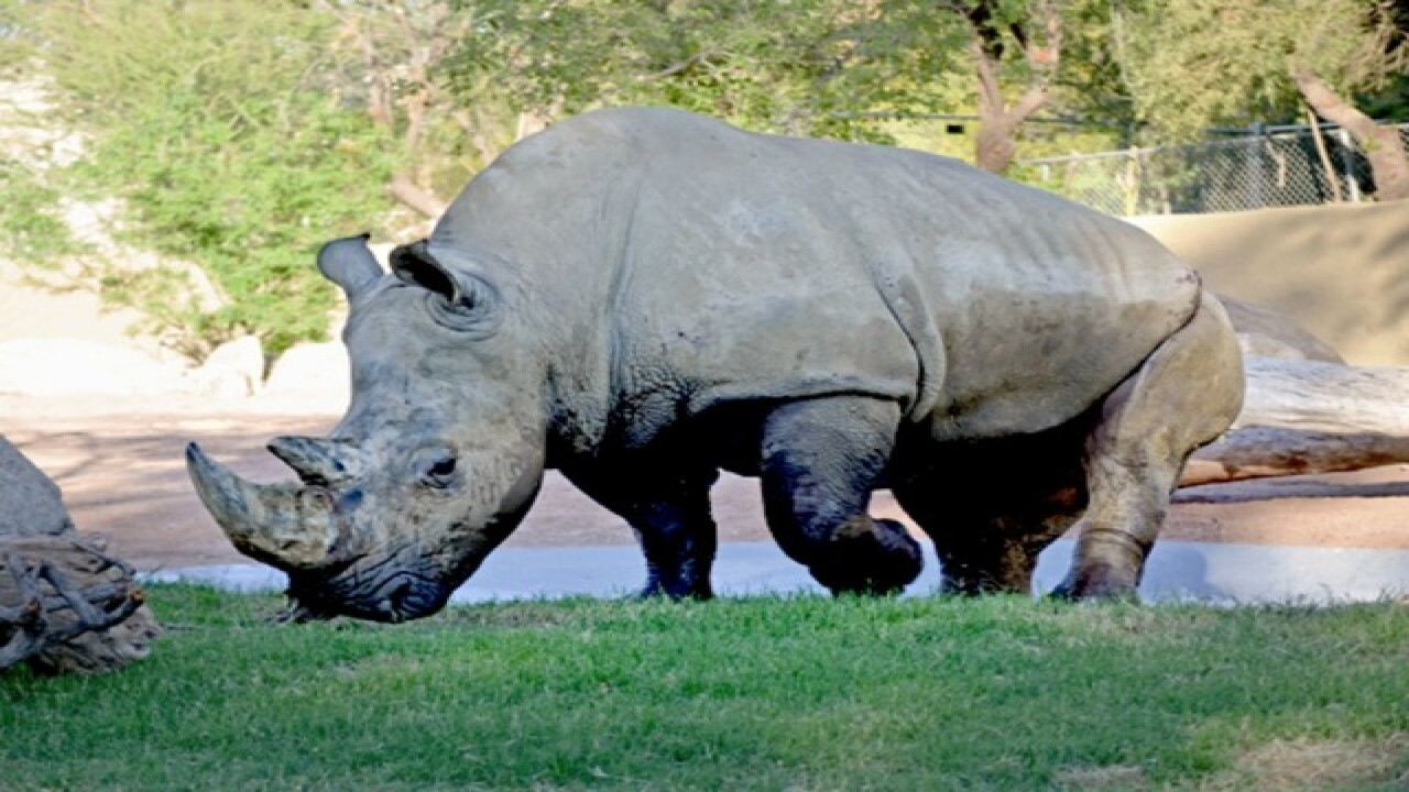 Phoenix Zoo brings in rhino from San Diego Zoo