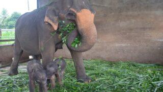 Rare Twin Elephants Born In Sri Lanka