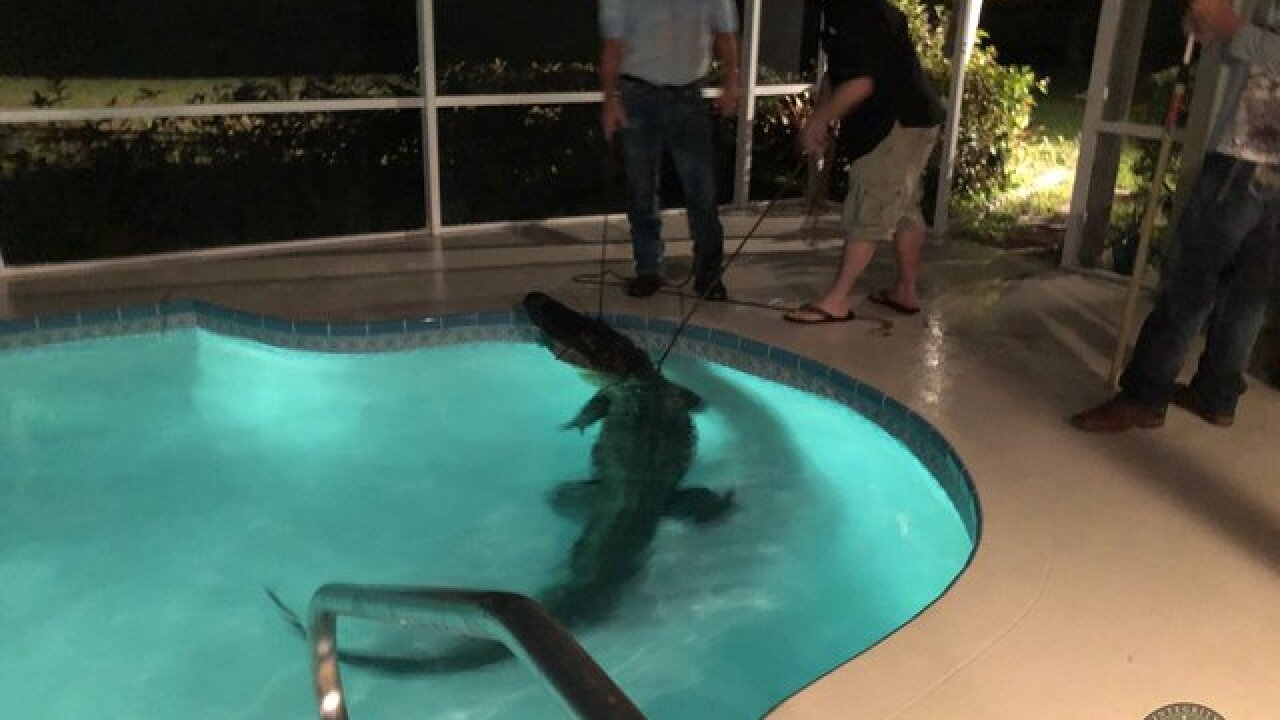Video: Trapper pulls 11-foot gator from pool