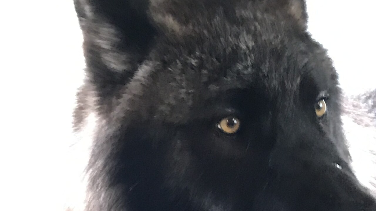 Onyx the Gray Wolf
