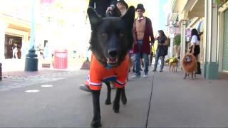 Video extra: Pet Halloween parade
