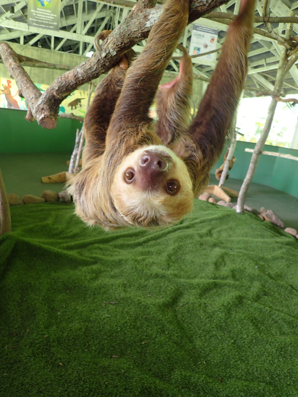 Baby Sloths (26).JPG