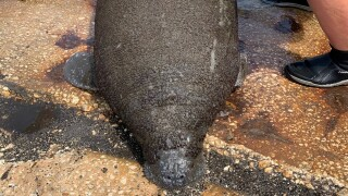 Manatee rescued near Gasparilla Marina