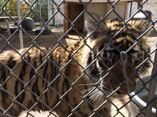 Exotic animals rescued from Las Vegas man using them in unlicensed business.