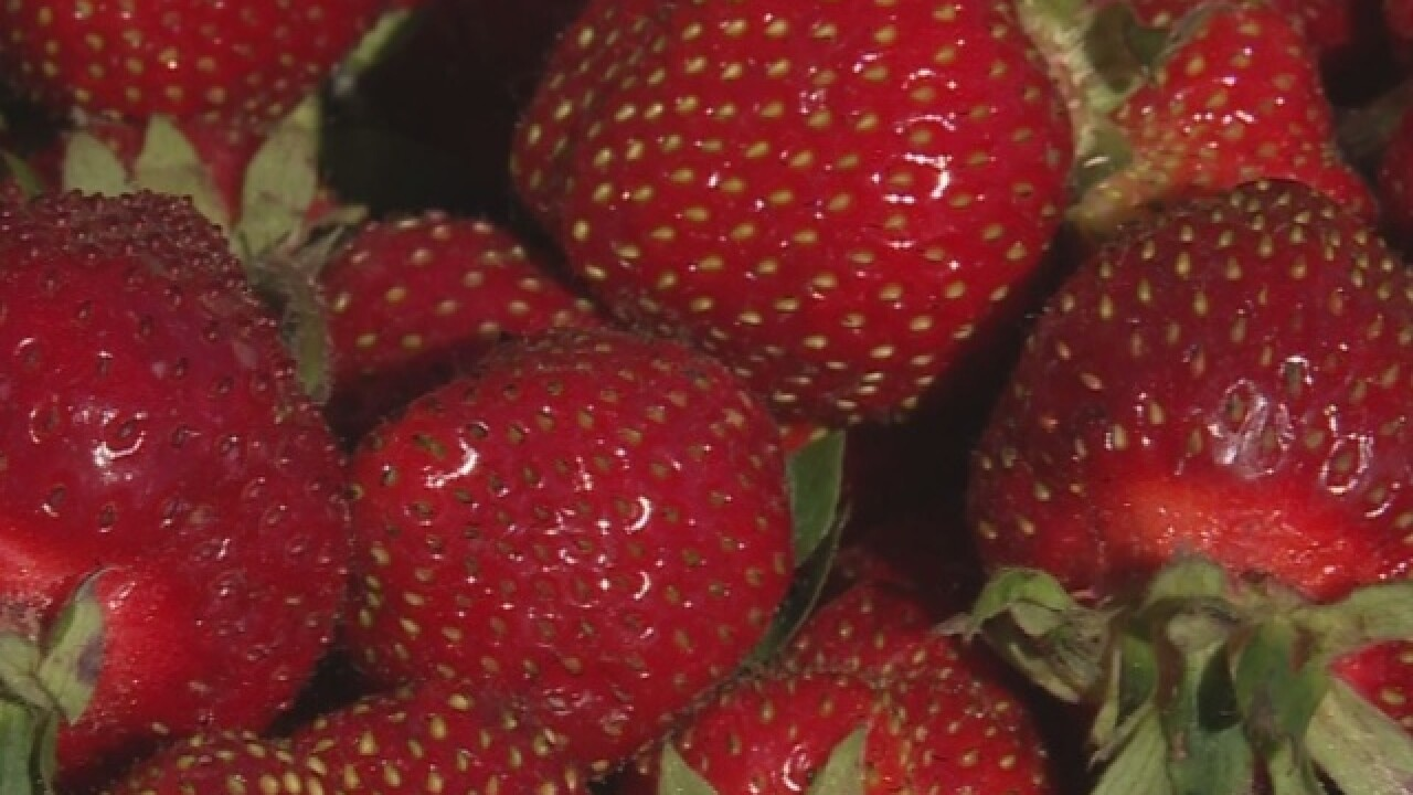 Strawberry picking season begins in Maribel