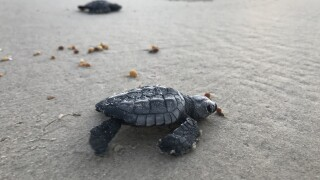 PINS announces cancels public sea turtle releases