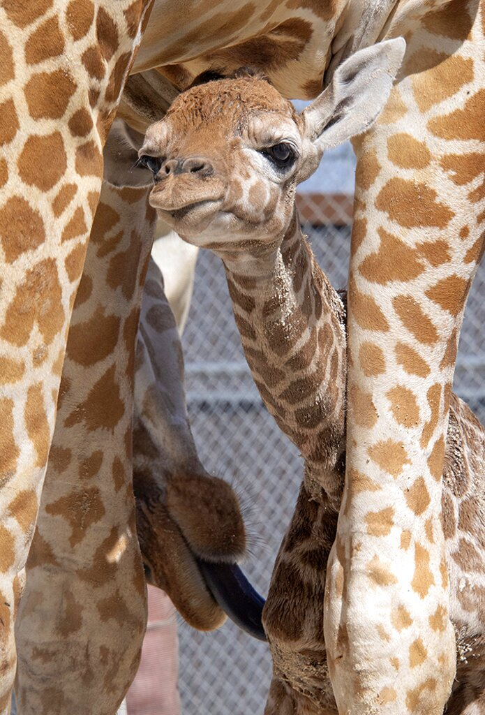 Baby Giraffes-Zoo Miami