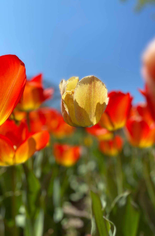 Tulips 2 - Courtesy Kim Reid Bos via Facebook.jpg