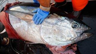 wptv-bluefin-tuna.jpg