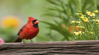 How To Attract Cardinals To Your Yard