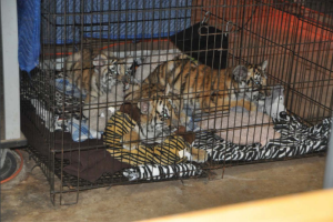 USDA inspection pic tiger cubs.PNG
