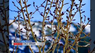 Trees start budding in Western Montana