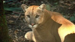 Florida Panther FWC.JPG