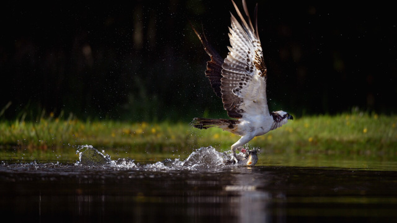 Detroit-area osprey lands in South America