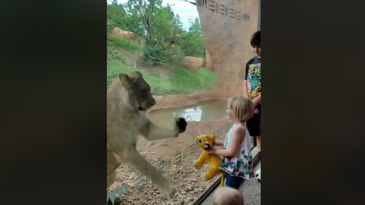 Lion at Oklahoma City Zoo fascinated by Simba doll from 'The Lion King'